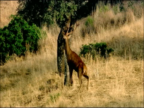 red deer (cervus elaphus) under tree, stretches up to reach acorns, autumn, sierra morena, andalusia, southern spain - herbivorous stock videos & royalty-free footage
