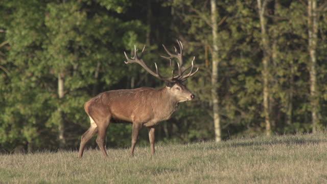red deer - deer stock videos & royalty-free footage