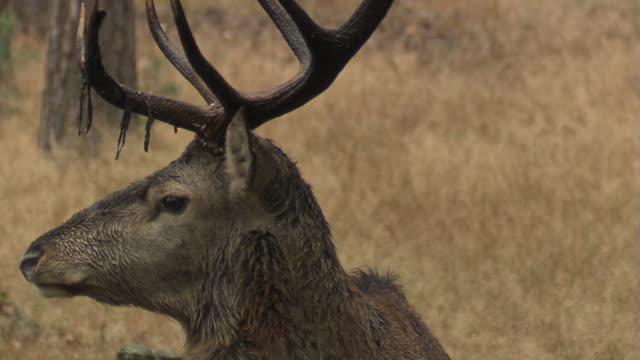 red deer - gehörn stock-videos und b-roll-filmmaterial