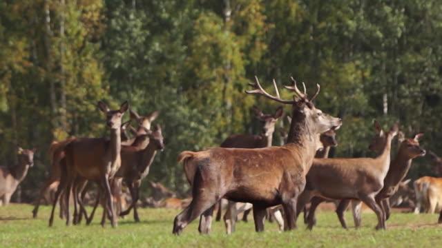 red deer - kronhjort bildbanksvideor och videomaterial från bakom kulisserna