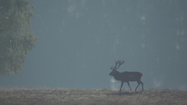 red deer - deer stock videos & royalty-free footage