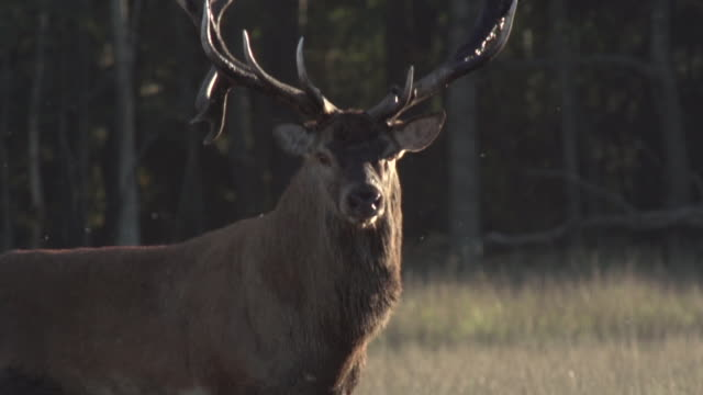 レッド ・ ディア - 牡鹿点の映像素材/bロール