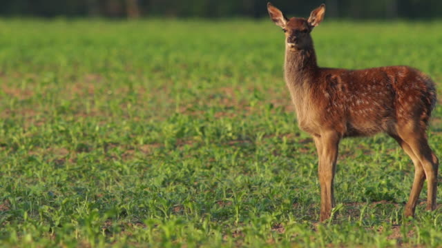 red deer - rothirsch stock-videos und b-roll-filmmaterial