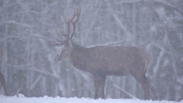 red deer - behornad bildbanksvideor och videomaterial från bakom kulisserna
