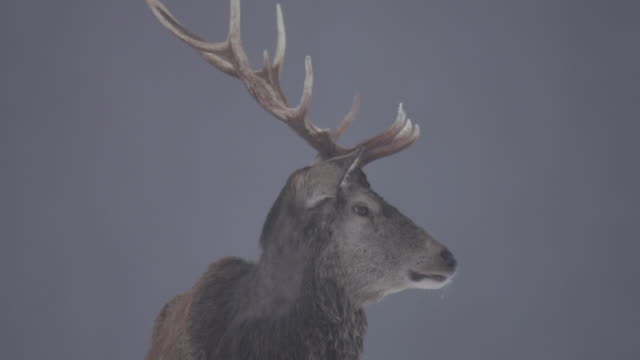 red deer - hirsch stock-videos und b-roll-filmmaterial