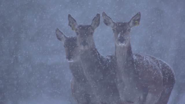 red deer - wildlife stock videos & royalty-free footage