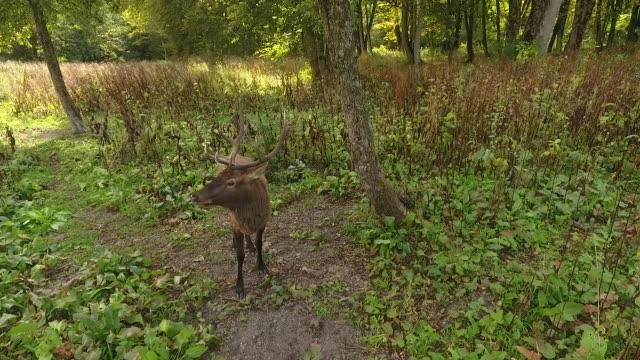 Red deer (Western Caucasus)