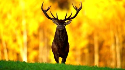 stockvideo's en b-roll-footage met red deer - autumn
