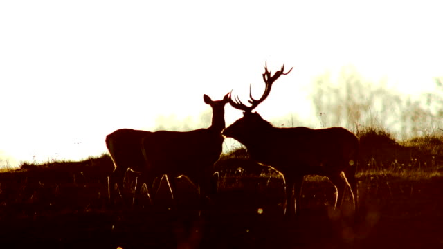 red deers and sunset - two animals stock videos and b-roll footage