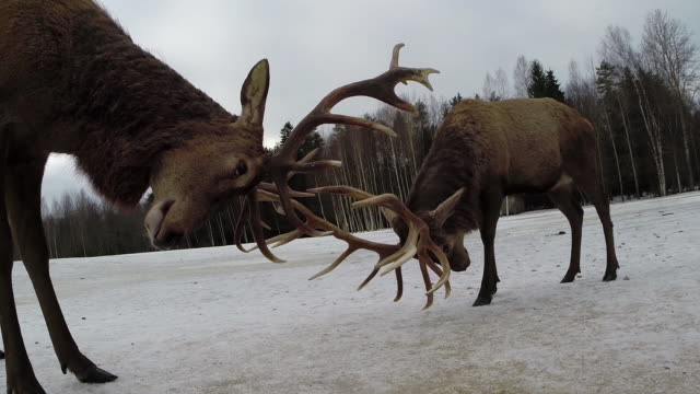 red deers and winter - antler stock videos & royalty-free footage