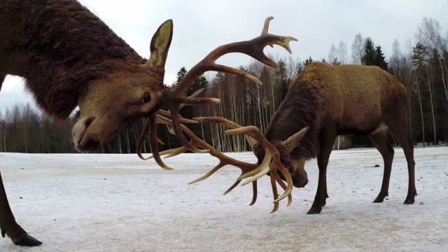 red deers and winter - horned stock videos & royalty-free footage