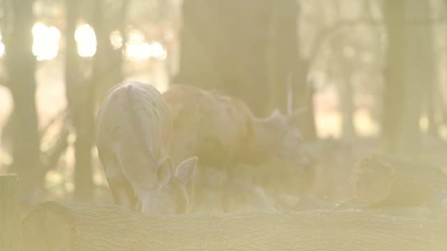 red deers wandering in the forest park in london, england searching for food. -medium shot - herbivorous stock videos & royalty-free footage