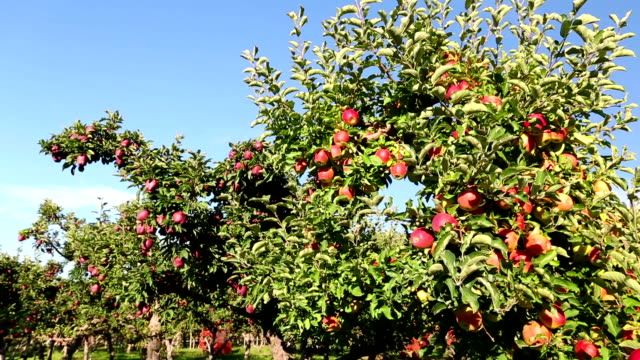 red delicious apple orchard - red delicious stock videos & royalty-free footage