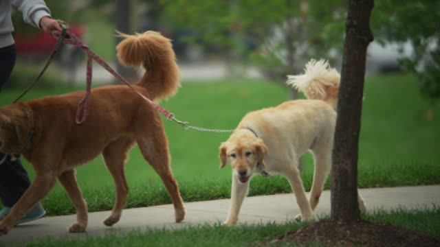 a red dog and a yellow dog walk on a leash with their owner in a park. - guinzaglio per animale video stock e b–roll