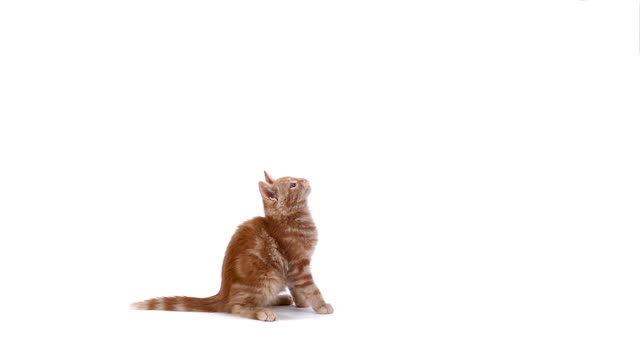 vídeos y material grabado en eventos de stock de red domestic kitten playing against white background, slow motion - gato doméstico