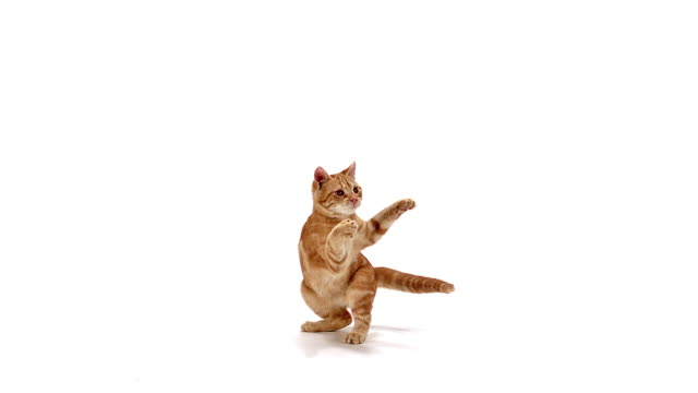 Red domestic kitten playing against white background, Slow motion