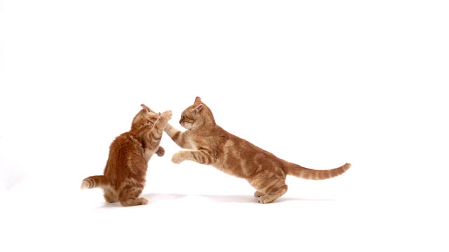 vidéos et rushes de red domestic kittens playing against white background, slow motion - prise accélérée