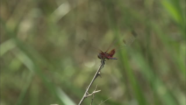 a red dragonfly lands on a twig. - dragonfly stock videos & royalty-free footage
