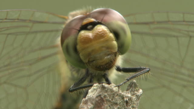 red dragonfly on the branch - animal head stock videos & royalty-free footage