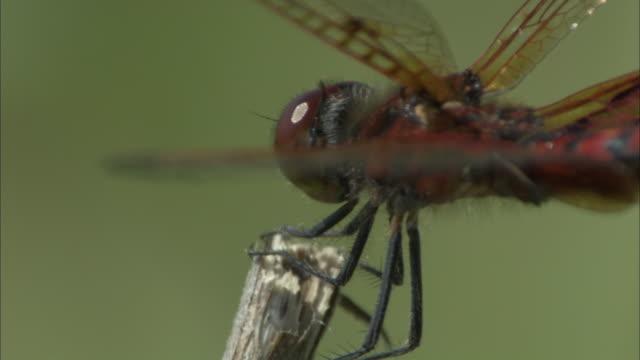 a red dragonfly perches on a twig, looks around, then flies away. - gliedmaßen körperteile stock-videos und b-roll-filmmaterial