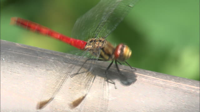 a red dragonfly perches on a twig. - twig stock videos & royalty-free footage