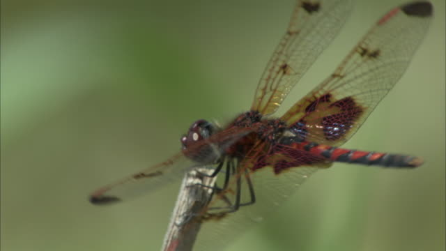 a red dragonfly perches on the tip of a twig with its wings spread. - gliedmaßen körperteile stock-videos und b-roll-filmmaterial