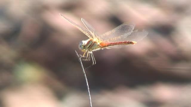 red dragonfly - nummer 6 bildbanksvideor och videomaterial från bakom kulisserna