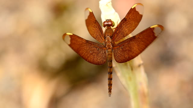 vídeos de stock, filmes e b-roll de red dragonfly - símbolo conceitual