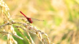 Red Dragonfly,Autumn,ear of Rice