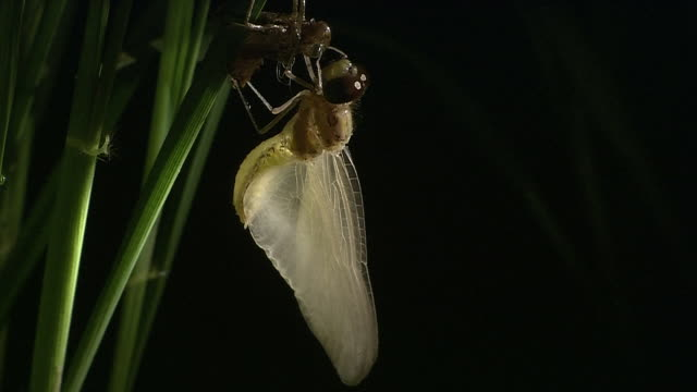 red dragonfly's hatch - animal abdomen stock videos and b-roll footage