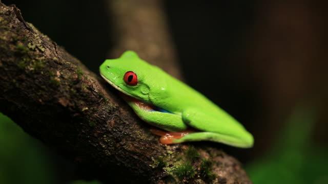 vídeos y material grabado en eventos de stock de rana arborícola de los ojos rojos - rana arborícola de los ojos rojos