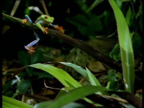 vídeos y material grabado en eventos de stock de red eyed tree frog climbs along leaf wobbling - rana arborícola de los ojos rojos