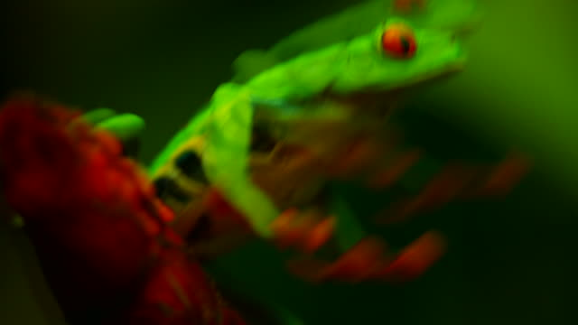 a red eyed tree frog (agalychnis callidryas) jumping in the forest - papua stock videos and b-roll footage
