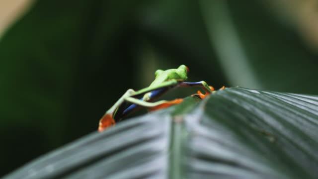 vídeos y material grabado en eventos de stock de red eyed tree frog jumping off of a palm frond - rana