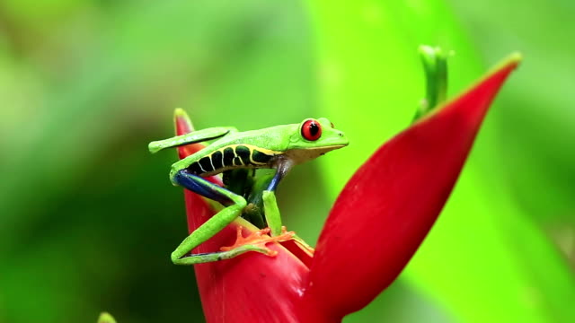 red eyed tree frog jumping - costa rica stock videos & royalty-free footage