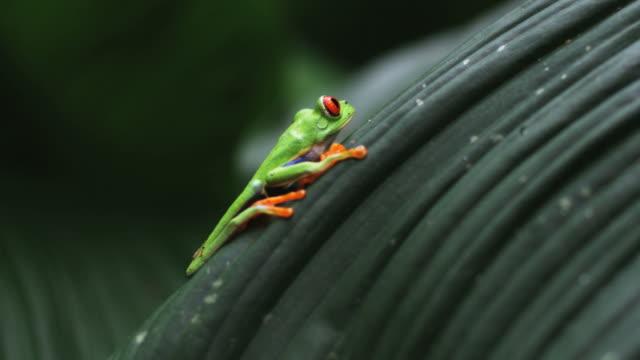 vídeos y material grabado en eventos de stock de red eyed tree frog on a palm frond - rana arborícola de los ojos rojos