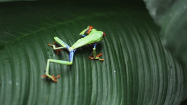 red eyed tree frog on a palm frond - regenwald stock-videos und b-roll-filmmaterial