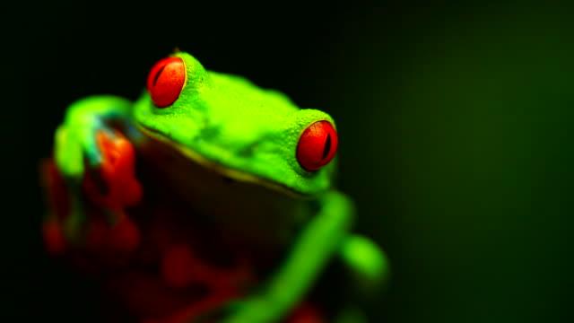 vídeos y material grabado en eventos de stock de a red eyed tree frog (agalychnis callidryas) sitting on the branch - rana