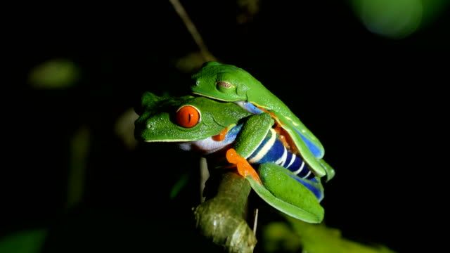 Red Eyed Tree Frogs mating at night