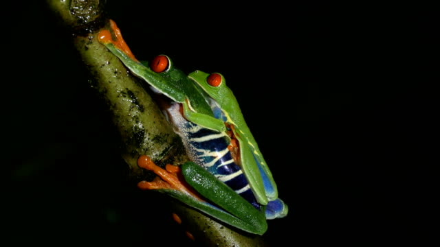 red eyed tree frogs mating at night - mating stock videos & royalty-free footage