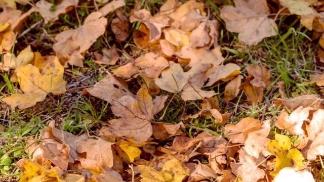 vídeos de stock, filmes e b-roll de folhas caídas vermelhas em uma floresta no outono. luz solar que brilha nas folhas caídas vermelhas na grama verde em uma floresta do outono. movimento da câmera de captura linear. - estampa de folha