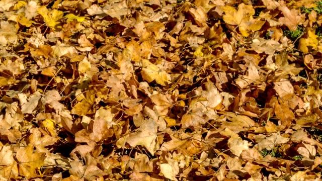 vídeos de stock, filmes e b-roll de folhas caídas vermelhas na floresta no outono. folhas vermelhas caídas à terra em uma floresta do outono. movimento da câmera de captura linear. - estampa de folha