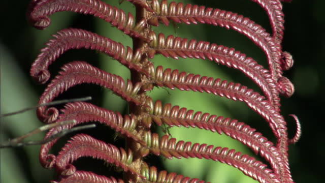 red fern frond in forest, hawaii - frond stock videos & royalty-free footage