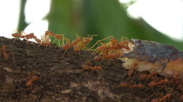 red fire ants close up - invertebrate stock videos & royalty-free footage