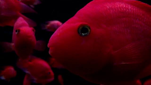 Red fish in aquariums