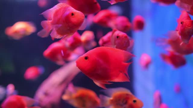 red fish swimming in aquarium - aquarium stock videos & royalty-free footage