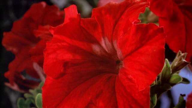 cu t/l  red flower blooming  / studio city, california, usa - studio city stock videos & royalty-free footage