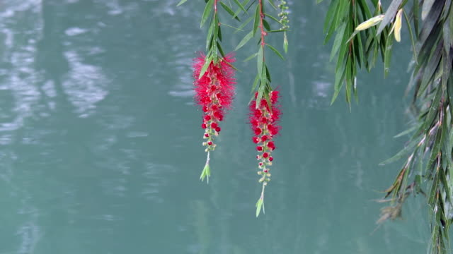 red flower of a weeping willow tree in natural lake. beauty of the mayajigua lakes - sancti spiritus province stock videos and b-roll footage