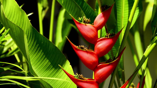 red flower of shining bird of paradise - heliconia stock videos & royalty-free footage