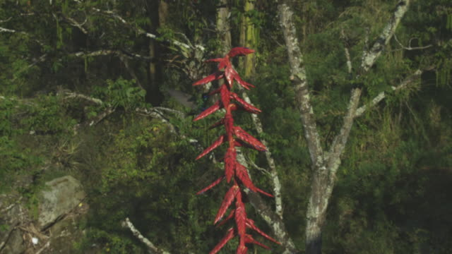 ws of red flower spike with hummingbirds squabbling around it - 50 seconds or greater stock videos & royalty-free footage